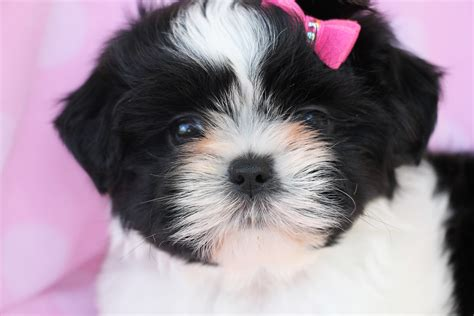 shih tzu puppies for sale in shih tzu puppies for sale in south florida breeds