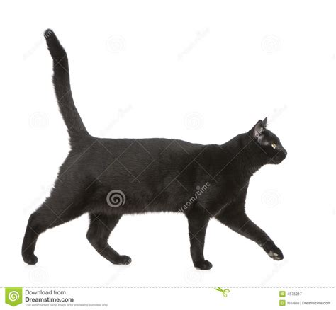 Black Cat T L Ld 86 Cm black cat royalty free stock image cartoondealer 58164580