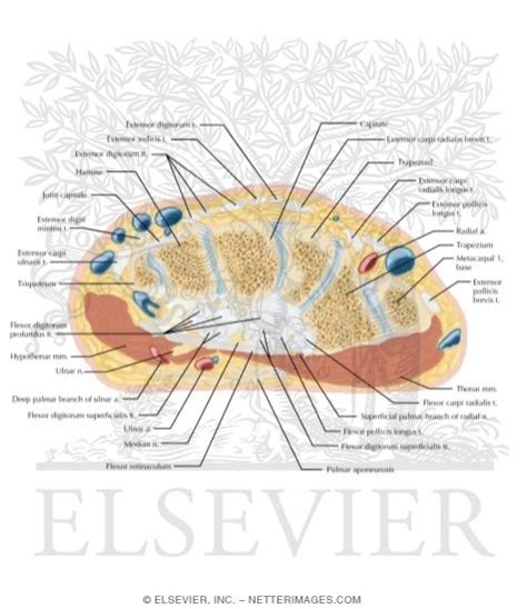 cross section of wrist illustrations in correlative imaging musculoskeletal