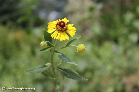 pictures of flowers sneezeweed flower picture 44