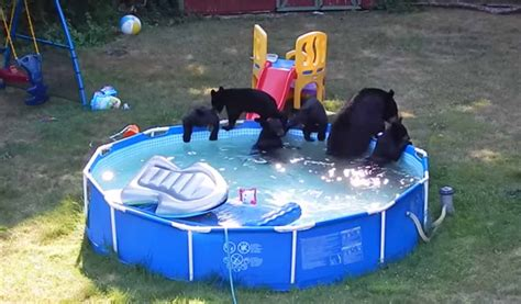 family of bears play in backyard swimming pool