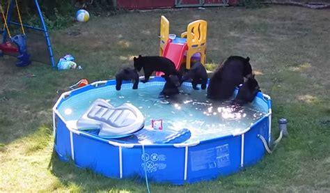 Bears Backyard Pool Family Of Bears Play In Backyard Swimming Pool