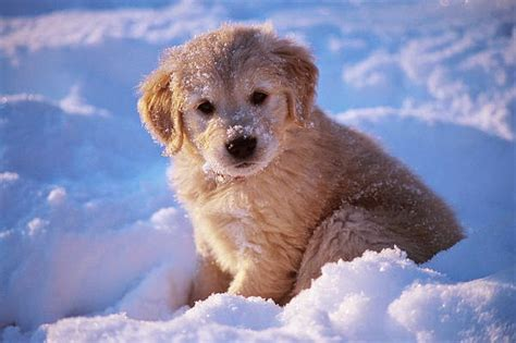 golden retriever puppy and baby most unique baby golden retriever puppy in snow