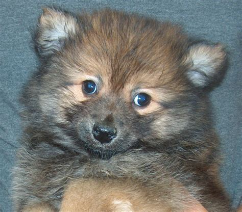 teacup pomeranian orlando teacup husky pomeranian puppies viewing gallery breeds picture