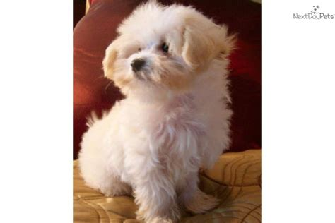 Maltipoo Shed by Mini Maltipoo Puppies No Shedding Breeds Picture