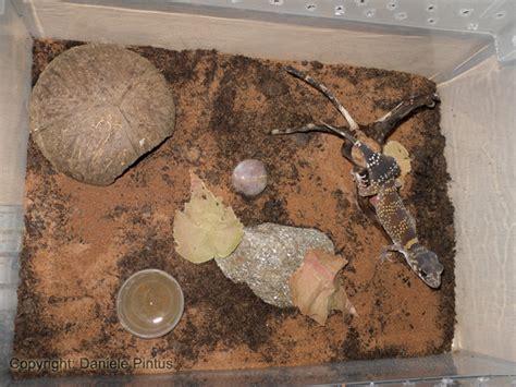 alimentazione lucertole scheda approfondita underwoodisaurus milii bory 1823