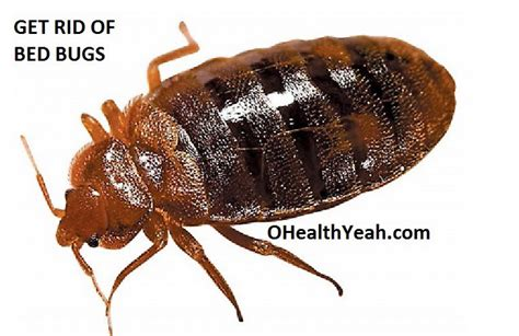 how long can bed bugs live without air how do you get bed bugs how to get bed bugs your 17 best