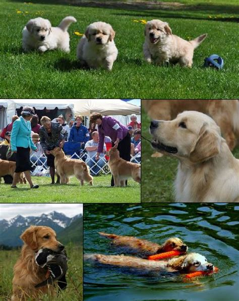 golden retriever breed standard golden retriever breed standard illustrated dogs our friends photo
