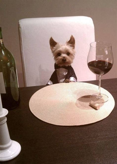 tuxedo for yorkie yorkie puppy in tuxedo at table for dinner mans best friend s best friend