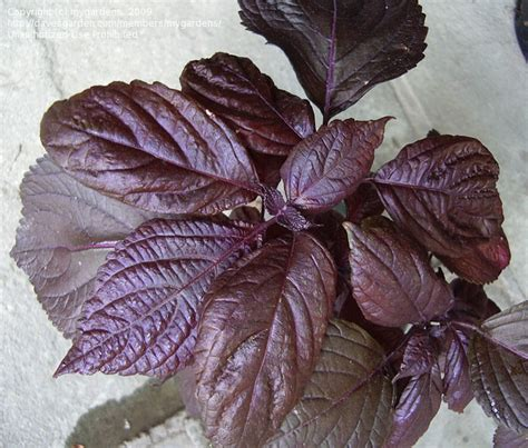 purple leaf trees identification plant identification closed purple leaf licorice smell 1 by mygardens