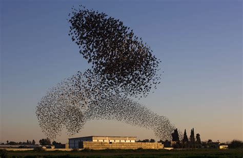 est100 一些攝影 some photos murmuration starling 群 椋鳥