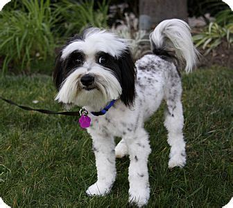 havanese miniature poodle mix timothy adopted newport ca havanese poodle miniature mix