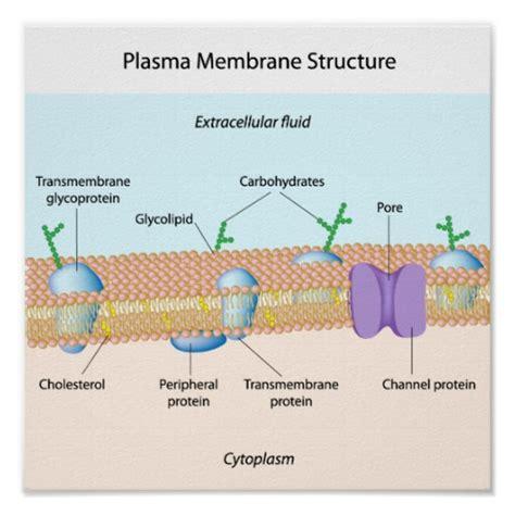 plasma membrane diagram structure of plasma membrane poster zazzle