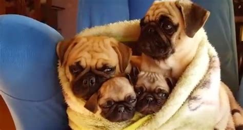 pug snug family of pugs are snug as a bug in a rug now see how loving they are toward