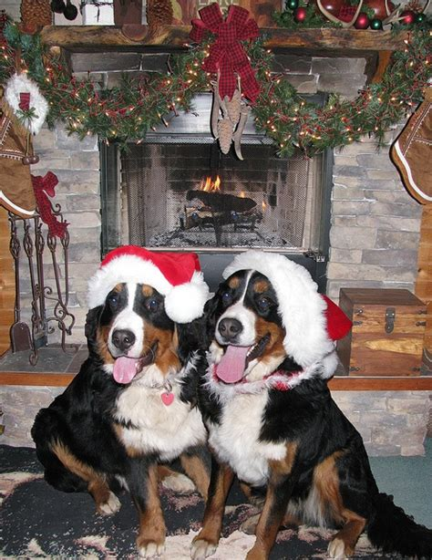 a berner merry christmas waldo breckee via flickr my