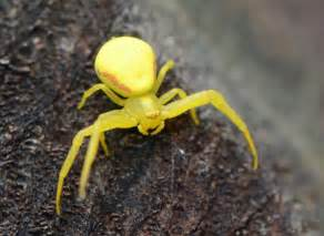Yellow Spider Ballooning Spiders Ohio Birds And Biodiversity