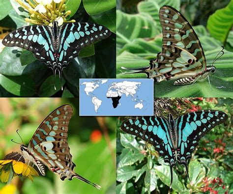 17 Buterfly Jumbo Waka 17 best images about butterflies swordtail graphium black striped large striped on