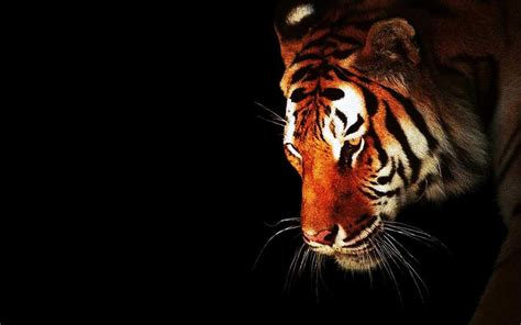 wallpaper black tiger hd black tiger wallpaper wallpapersafari