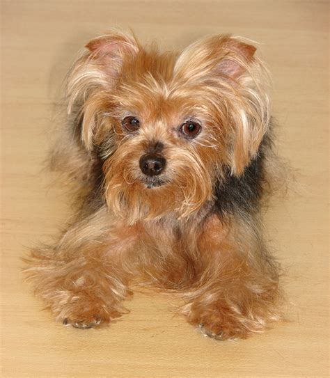 yorkie spay recovery fill out an adoption application