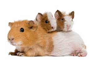 learn about nature guinea pigs as pets learn about nature