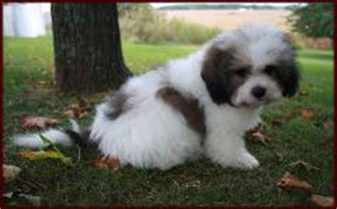 how much will my shih tzu weigh shichon puppies for sale mixed breed for sale iowa