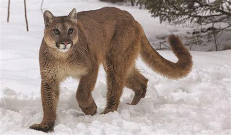 cougars near me will cougars return adirondack explorer adirondack