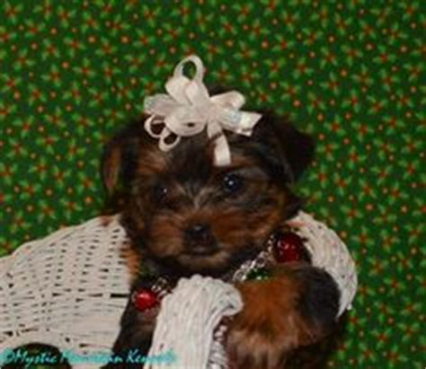 teacup yorkies for sale in tennessee cheap parti yorkie puppies for sale in colorado tiny yorkie puppies for sale