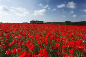 poppy flower symbolism of red poppies