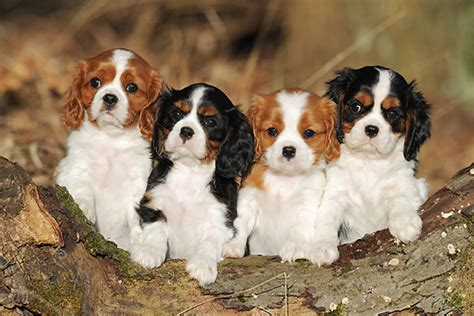 cavalier king charles spaniel puppies price cavalier king charles spaniel price how to get dogs to stop pooping in the house