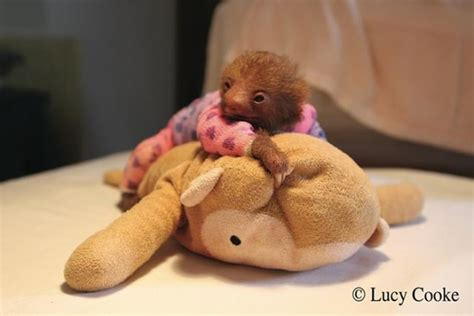Piyama Baby Q 9 photos that prove baby sloths are the cutest animals on