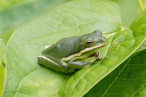 care   green tree frog caring pets