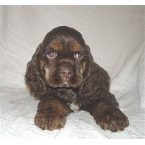cocker spaniel puppies for sale ohio mar cockers american cocker spaniel breeder in galion ohio listing id 10167