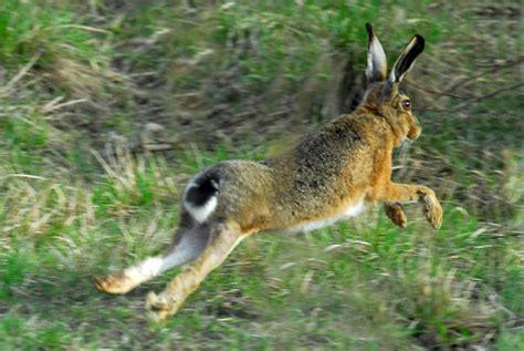 come cucinare la lepre alla cacciatora come cucinare la lepre arrosto