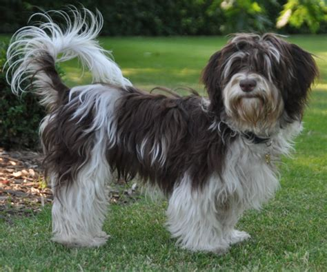 chocolate parti havanese colors colours in havanese havaneser farben info chocolate brown colour color