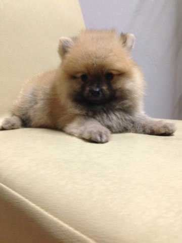teddy pomeranian for sale in teddy pomeranian puppies