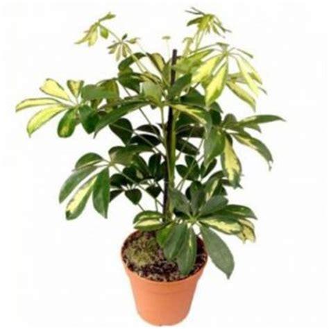 piante sempreverdi terrazzo 10 piante da balcone sempreverdi