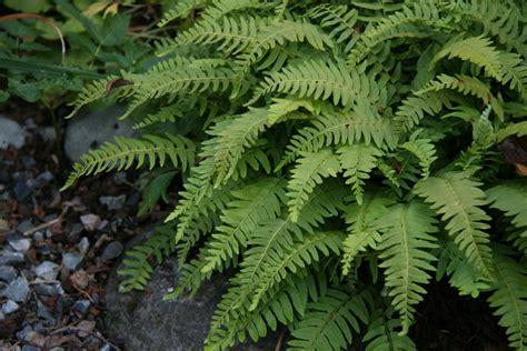 the hardy fern foundation hardy ferns fern displays fern education fern information