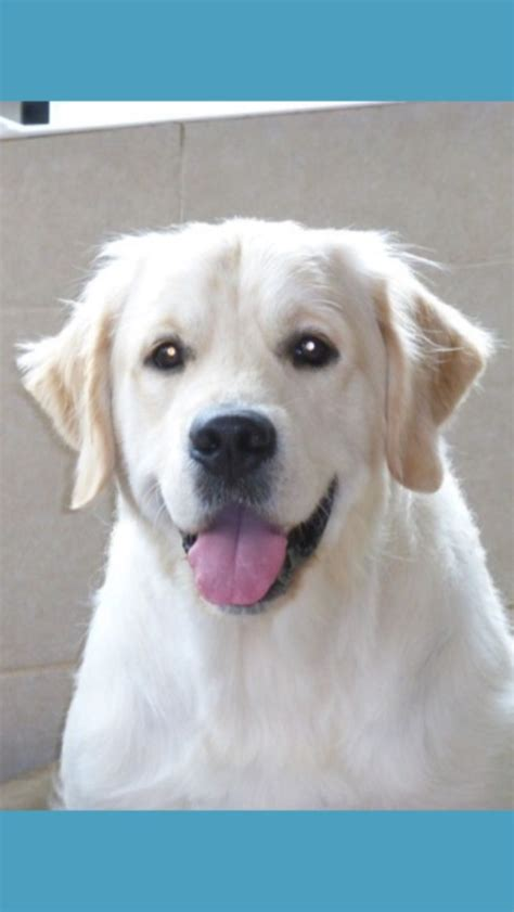 golden retriever stud dogs mitcharron buster keeton jw sh cm for stud deeside clwyd pets4homes