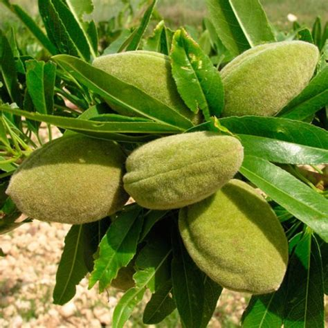 almond fruit tree sweet almond tree robijn pomona fruits buy fruit