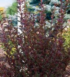 1000 images about shrubs on pinterest burning bush black lace
