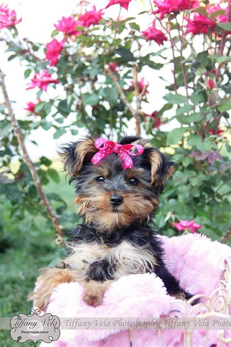 yorkie with bows in hair my yorkie puppy for photoshoot isn t she the cutest thing with