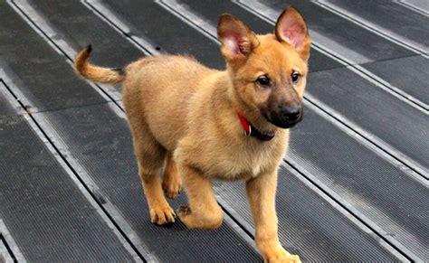 Le Berger le berger allemand chien de d 233 fense et d assistance