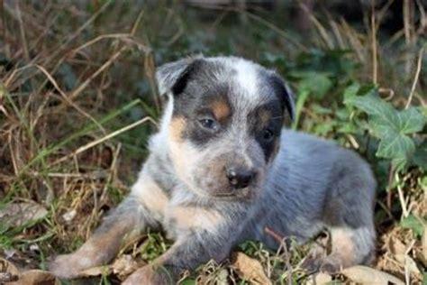 puppies for sale in ventura county queensland heeler puppy dogs for sale in ventura county southern autumn