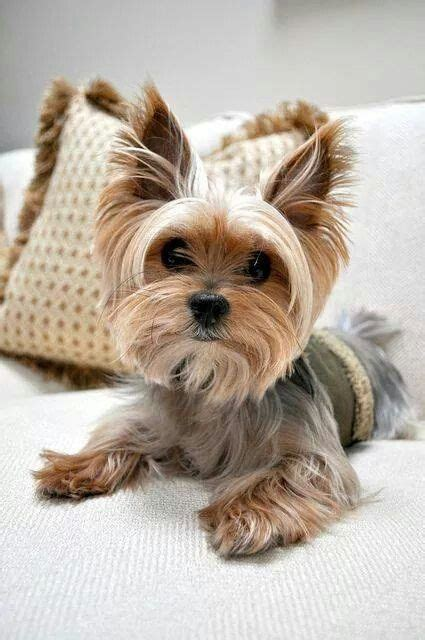 haircuts for yorkie dogs females 23 best cute teacup yorkies images on pinterest teacup