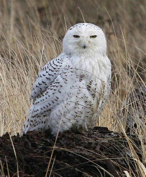 snowy owl irruption includes ridgefield ramblings