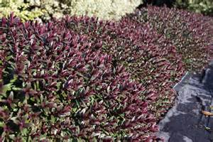 Flowering Evergreen Shrubs - hebe pretty n pink 175mm pot dawsons garden world