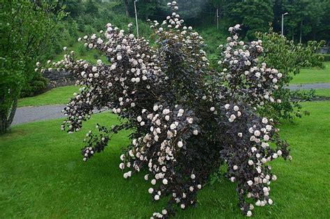 physocarpus opulifolius diabolo physocarpus opulifolius diabolo tr 228 dg 229 rd