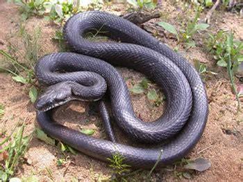 imágenes de serpientes negras las serpientes rata negra 187 serpientepedia