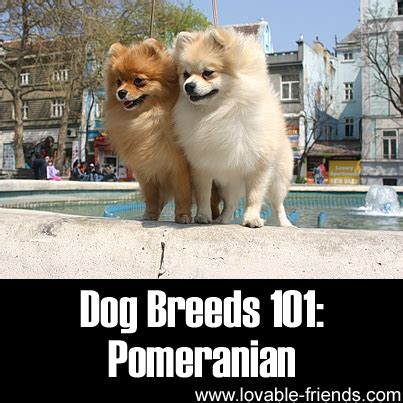 dogs 101 pomeranian breeds 101 pomeranian lovable friends