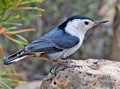 nuthatch these guys calls lol ornithology
